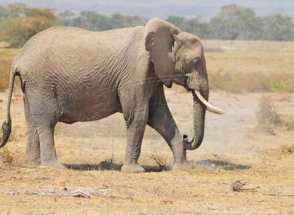 The African elephant is one of the species in Mwea National Reserve