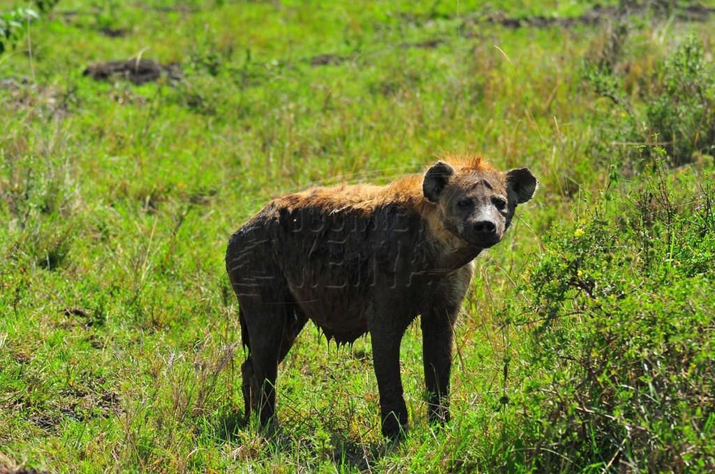 An African hyena