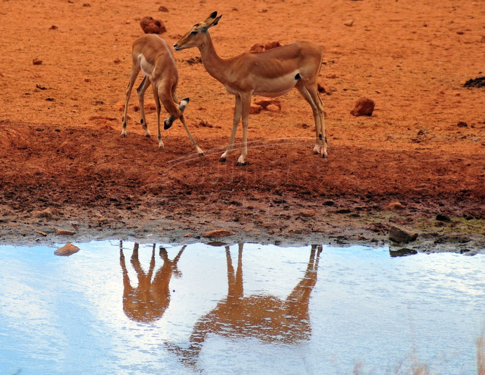 A duiker antelope at Tsavo West National Park