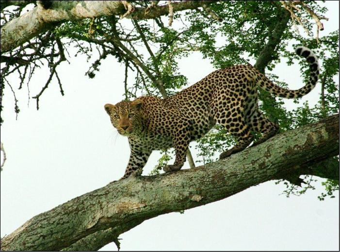 A leopard in Maasai Mara