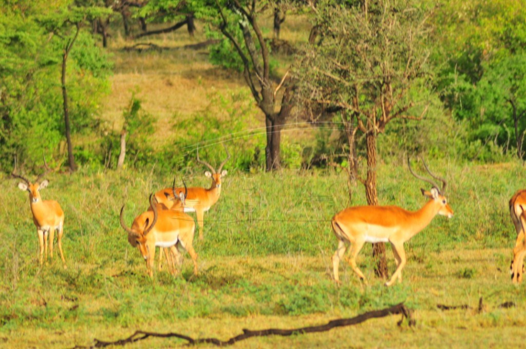Oribi antelopes in Maasai Mara National Reserve