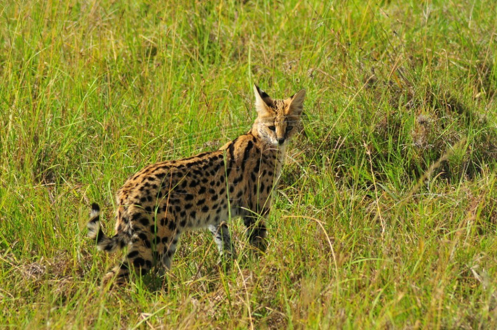 A serval cat in the plains of Maasai Mara