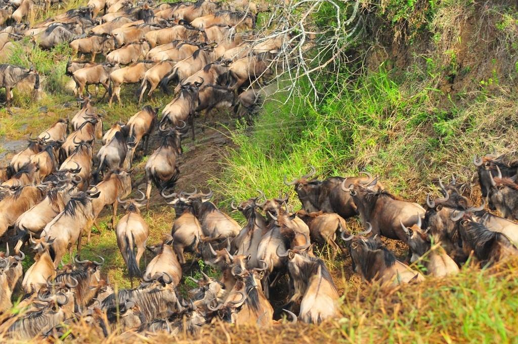 The great annual migration-jackals prey