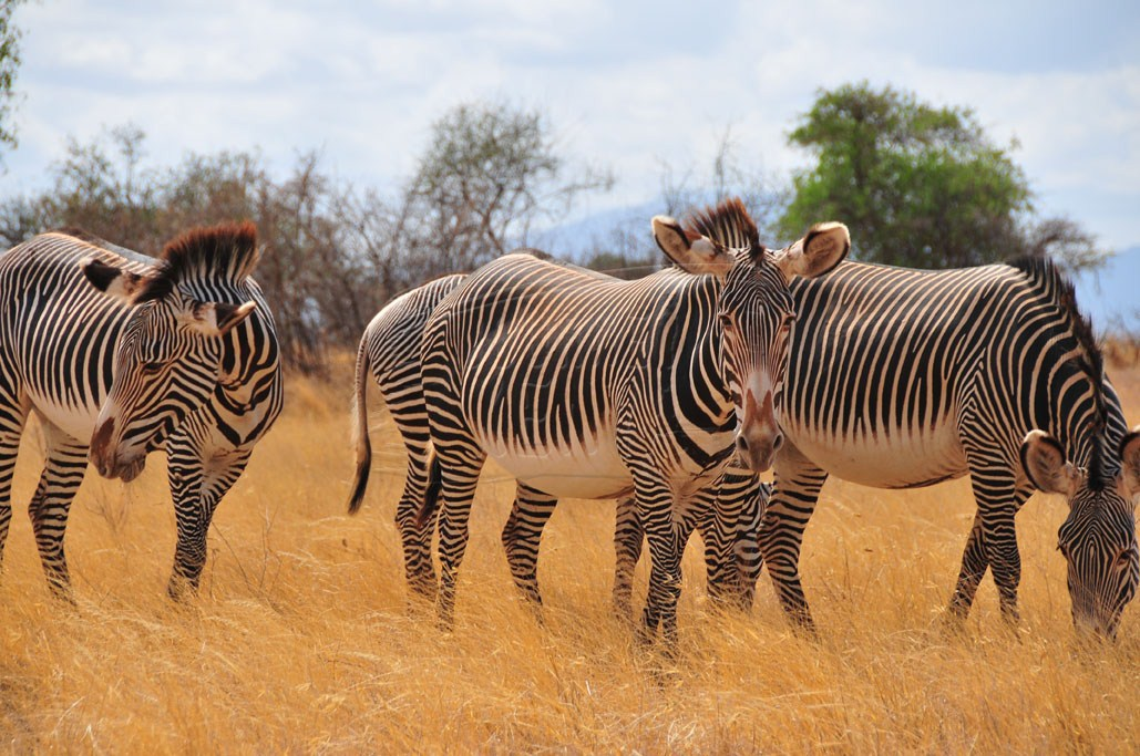 Grevy's zebras in Samburu National Reserve
