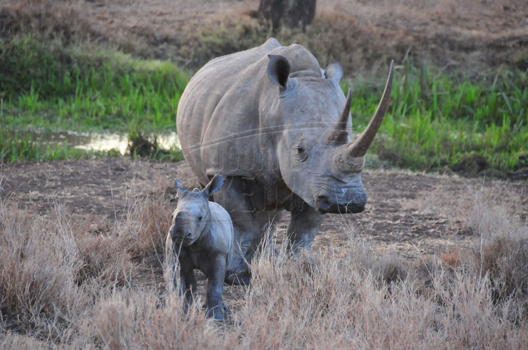 A rhino and its cub at Lewa Wildlife Conservancy