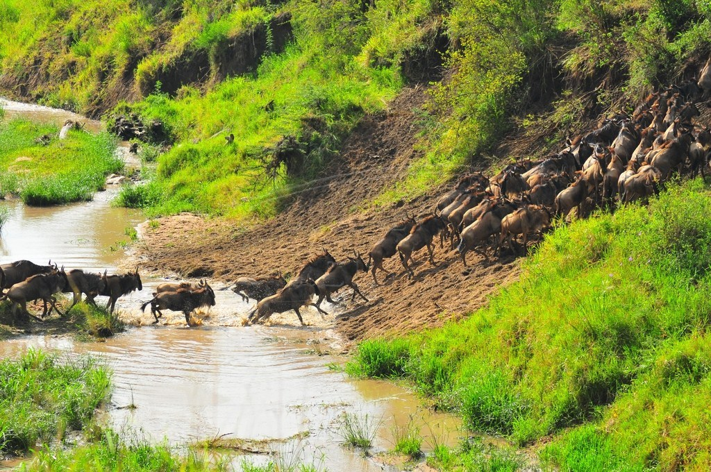 The great annual migration of wildebeests