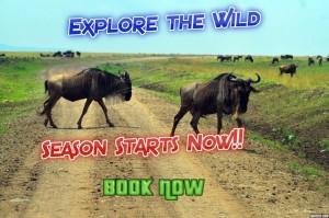 wildbeast-masai-mara