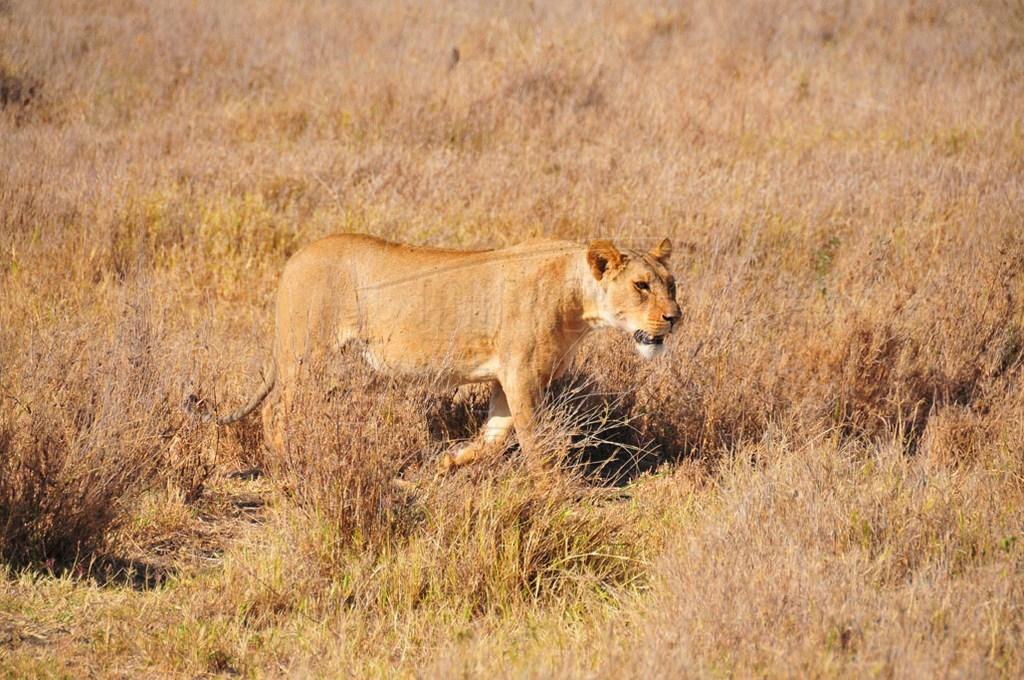 A lion exploring the plains