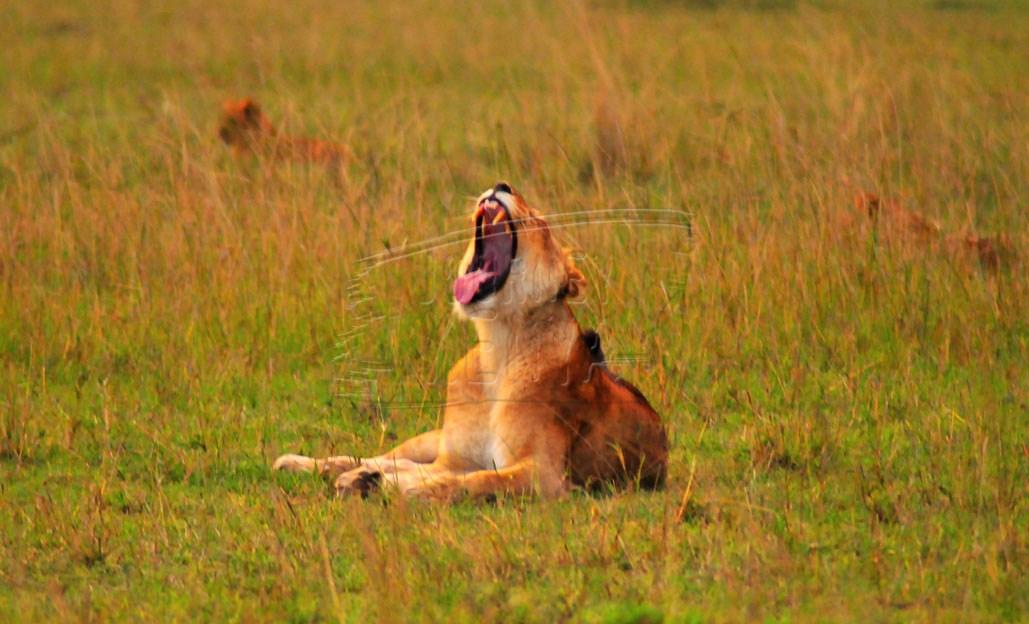 Lioness at Maasai mara