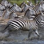 Migration of Zebras
