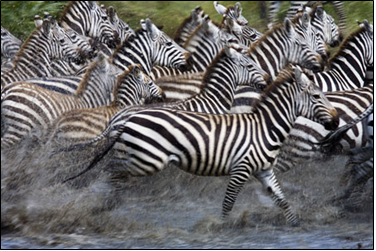 Migration of Zebras