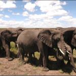 herd of Elephants migrating
