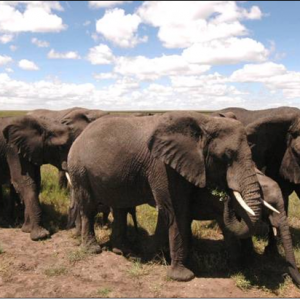 herd of Elephants migrating