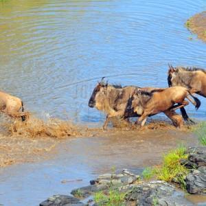 Migration across Maasai Mara