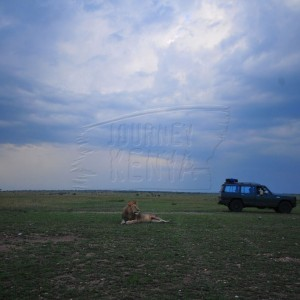 Lion at the Lake Manyara