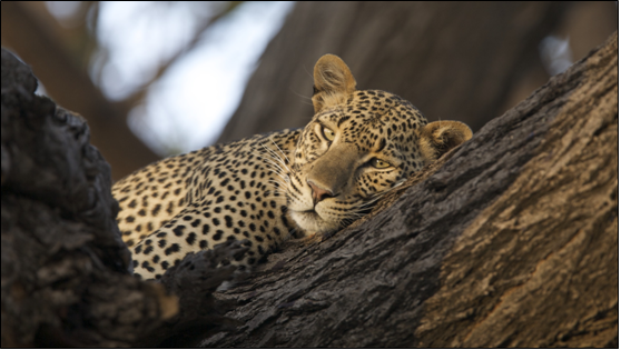 Leopard laying on tree branch