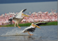 Pelicans and Flamingoes