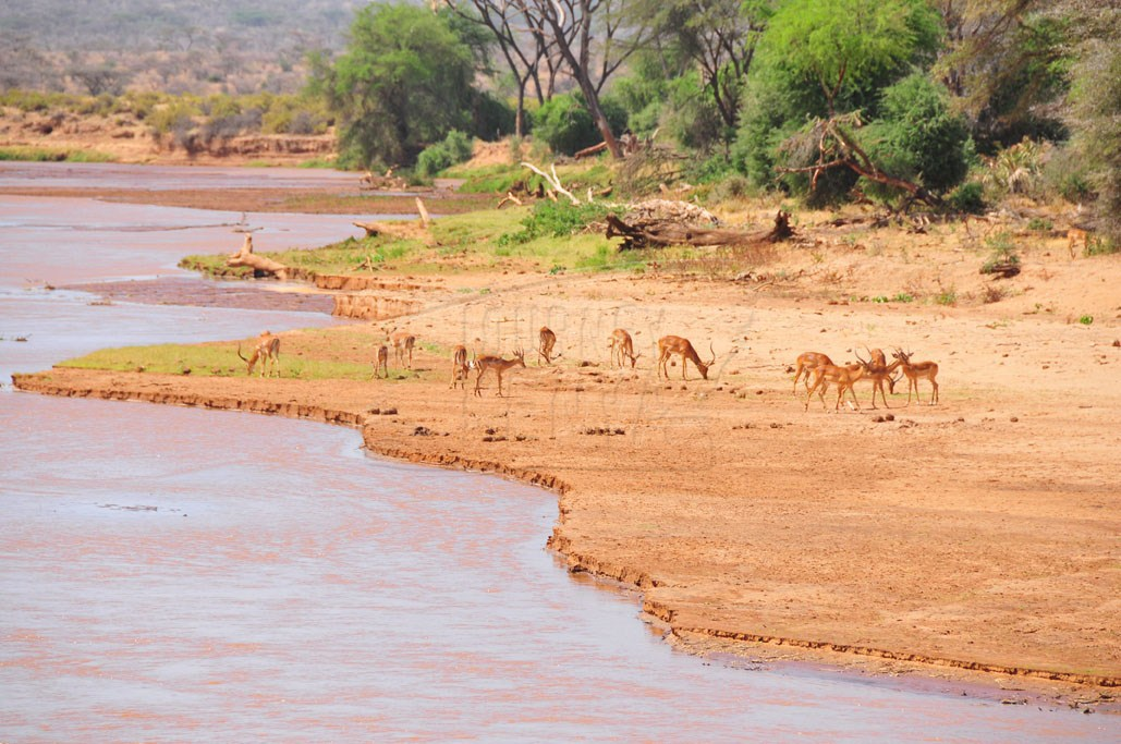 The bank of River Ewaso Nyiro is a camel trekking route